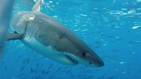 great white shark dive great white shark diving mexico day trips information