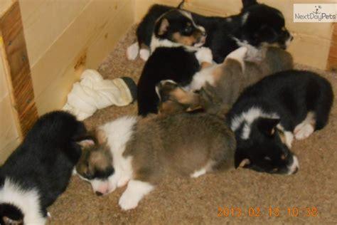 corgi puppies mn corgi pembroke puppy for sale near st cloud minnesota b44edac9 aed1