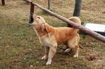 golden retriever barking how to your to stop barking why dogs bark