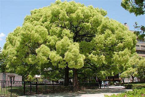 alberi profumati da giardino 10 alberi da sogno kyriolexy