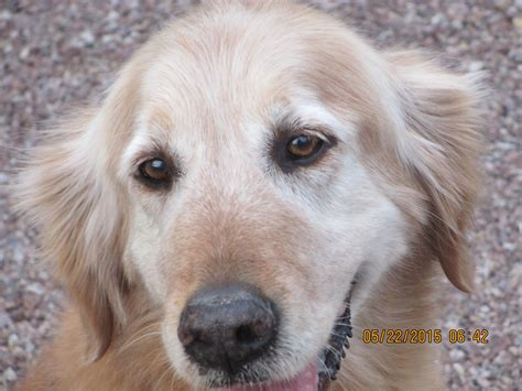 golden retriever rescue new southern arizona golden retriever rescue