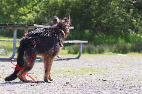 back legs weak 6 mo german shepherd with weak hind legs