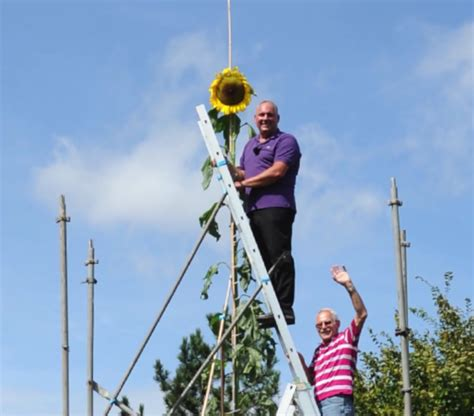 world s tallest sunflower requires its own scaffolding