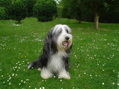 bearded collie puppy bearded collie photo and wallpaper beautiful bearded collie pictures