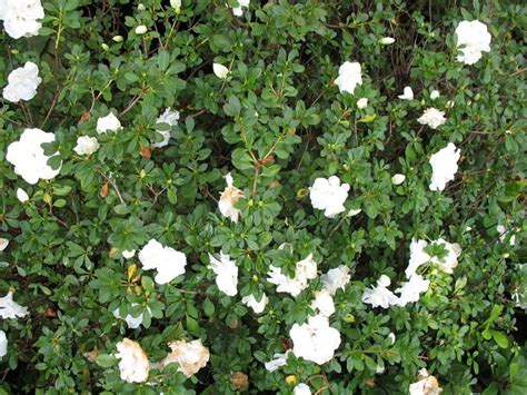 Gardenia Zone 7 17 Best Images About Planting Shrubs On Cedrus