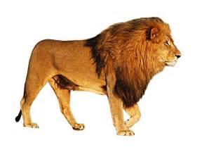 lion png image pngpix