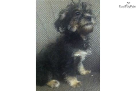 brown yorkie poo puppies for sale yorkipoo black w brown yorkiepoo yorkie poo puppy for sale near baltimore
