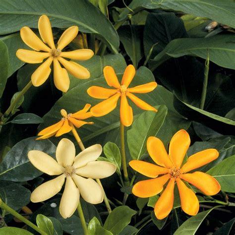 yellow gardenia gardenia coronata