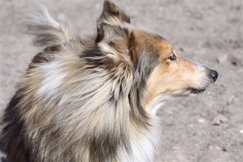 sheltie breed sheltie breed saw something wallpapers and images wallpapers pictures photos