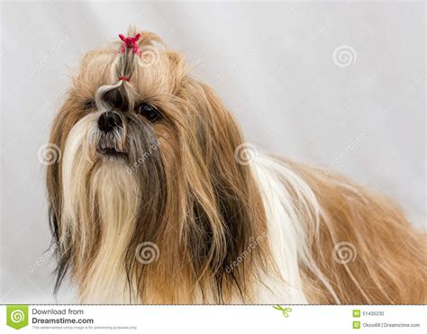 breeds like shih tzu breeds similar to shih tzu assistedlivingcares