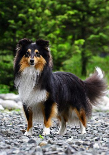 tri color sheltie tri color sheltie shetland sheepdog puppy