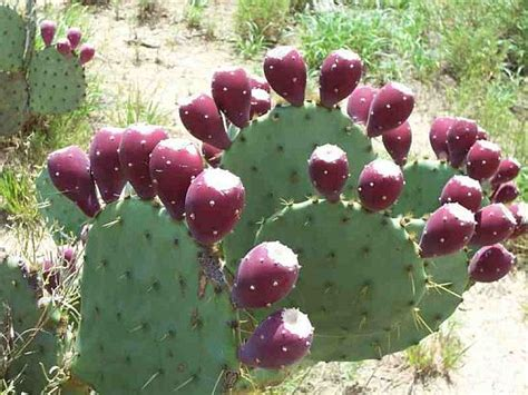 prickly pear oil usda organic