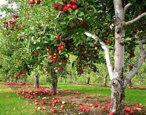 apfelbaum garten was pflanzen unter obstb 228 umen angemessene unterpflanzung