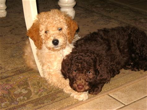 mini goldendoodles rochester ny goldendoodle for western ny breeds picture