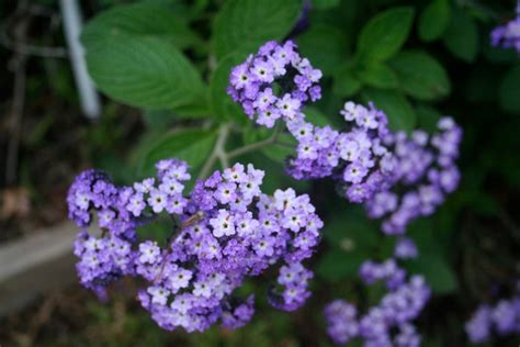 heliotrope heliotropium arborescens is also known as