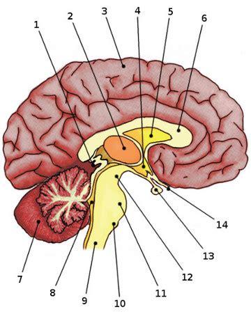 Brain Diagram Labeled Quiz free anatomy quiz anatomy of the brain quiz 1