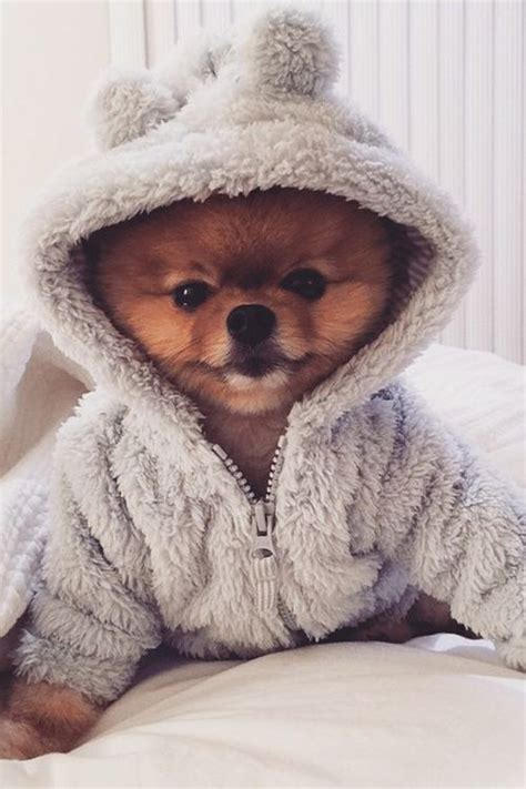 pomeranian clothes pets puppys and on
