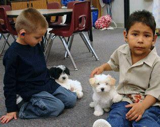 havanese puppies for sale in gilbert az photos havanese silk dogs r havanese