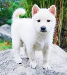 korean jindo puppies korean jindo puppies on