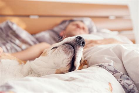 dogs sleeping in bedroom sleeping with dogs promotes better sleep vet practice