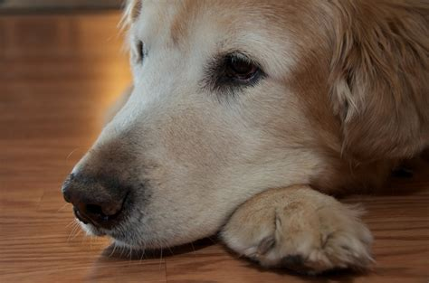 arthritis in golden retrievers the golden retriever rest in peace my family deci flickr