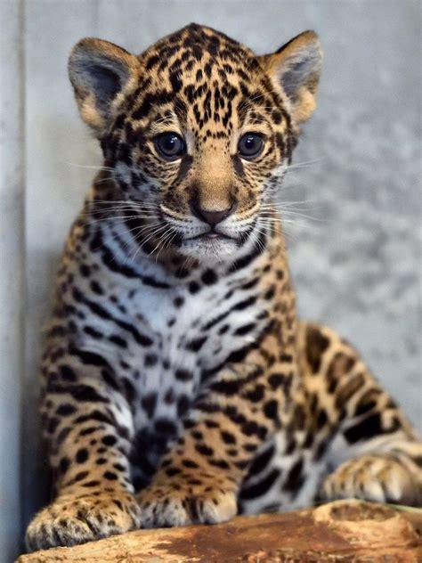 san diego zoo s jaguar cub needs a name zooborns