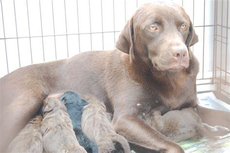 labrador doodle puppies sale uk chocolate labrador puppies leeds west