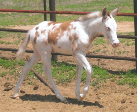 Spotted Racking by Gaited Fancy Spotted Molly Mule Filly