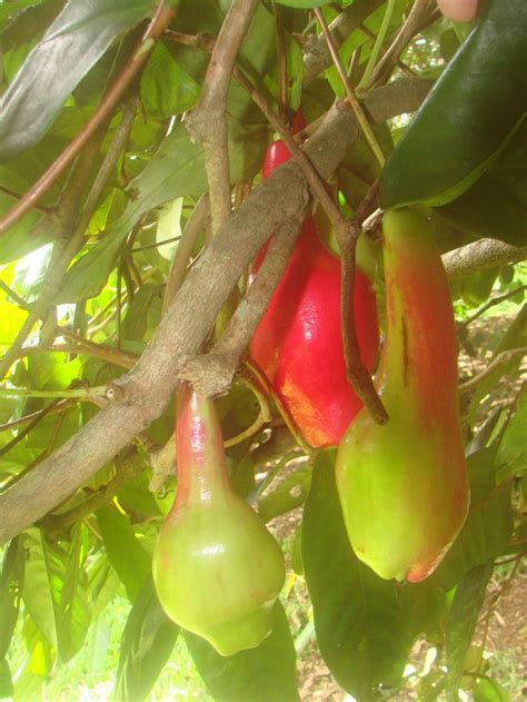tropical fruit trees for sale uk 96 best fruit trees images on fruit trees