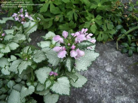 plantfiles pictures spotted dead nettle pink chablis