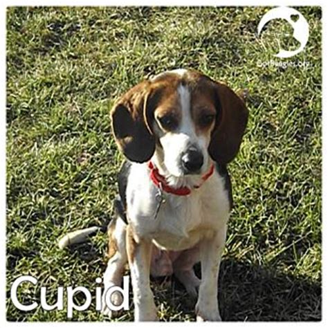puppies for adoption in pittsburgh pa pittsburgh pa beagle meet cupid a for adoption