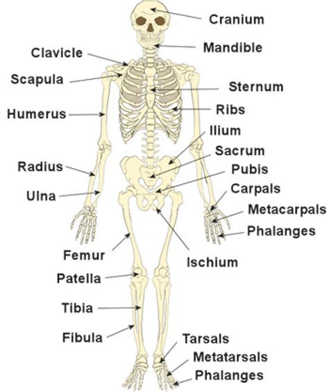 human bones diagram diagram of human skeleton defenderauto info