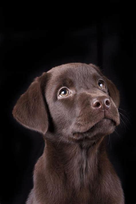 chocolate lab puppies in michigan m 225 s de 25 ideas incre 237 bles sobre labrador retriever en labrador negro