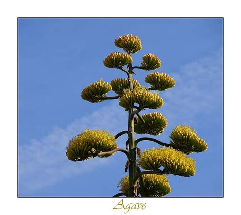 Plante Langue De Mère Fleur by Fleur D Agave