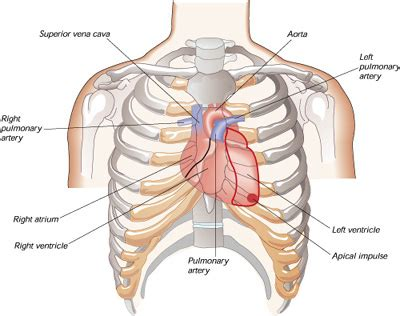 chest diagram chest anatomy diagram chest free engine image for user