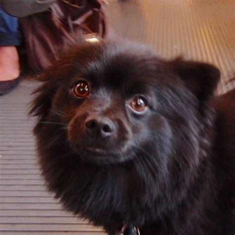 black pomeranian names of the day black muni pomeranian the dogs of san franciscothe dogs of san francisco