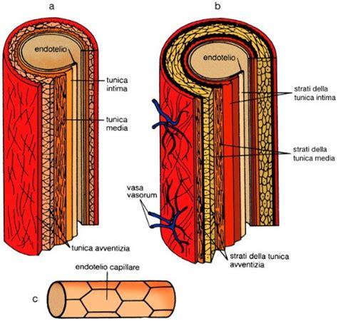 struttura vasi sanguigni vasi sanguigni didattica delle scienze