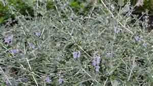 Diseases Plants - teucrium fruticans alpine nurseries