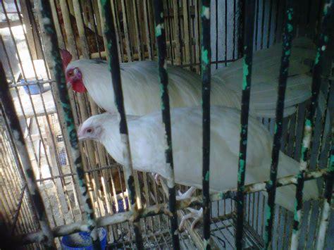 Anakan Ayam Cemani Jakarta masterhias toko jual ayam hias burung hias