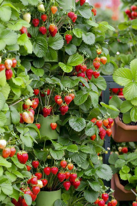 ricanti in vaso piante di fragole piante di fragole piante di fragole orto