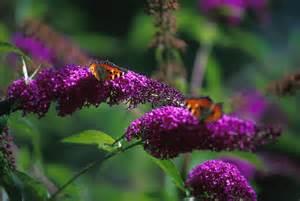 flowers that attract butterflies flower blog
