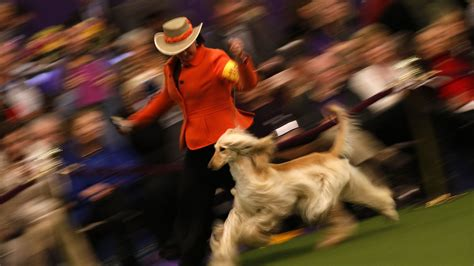 westminster show 2017 tv schedule 2017 westminster show live time tv schedule and how to
