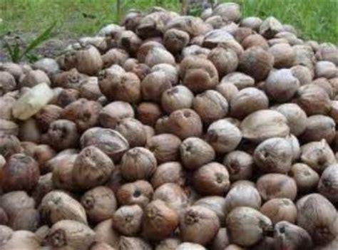 Penjual As Kelapa Kering go membuat pot dari buah kelapa kering