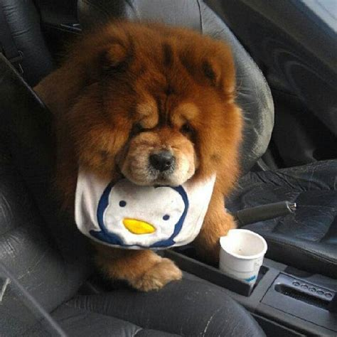 fluffiest pomeranian fluffy emergency chow chow puppies are on the