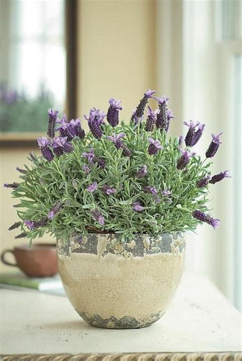 how to care for potted lavender paperblog