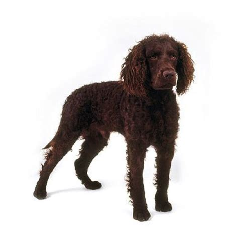 water spaniel puppies american water spaniel puppies breed info petland kennesaw