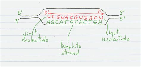 how is the template strand for a particular gene determined chapter 3