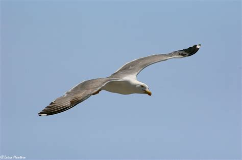 volo gabbiano volo di gabbiano foto immagini animali uccelli allo