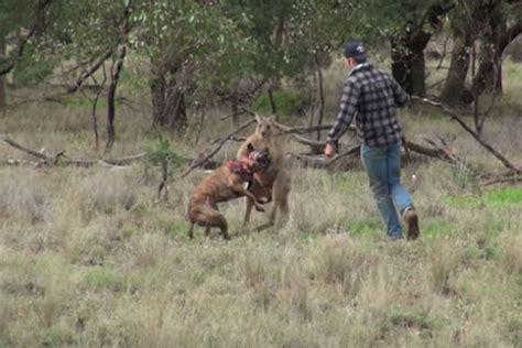 kangaroo with in headlock shocking moment takes on kangaroo in order to