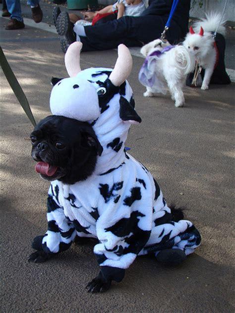 in black pug costume file black pug in cow costume jpg